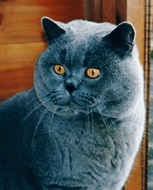 Ollie - British Shorthair