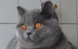 British Shorthair Girls