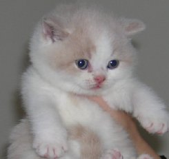 A cream and white kitten shorthair kitten wanting to be pampurred