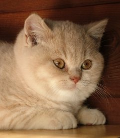A beautiful cream Pampurred kitten
