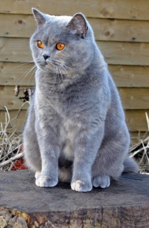 Colinswood Emma, a gorgeous blue cream British shorthair queen