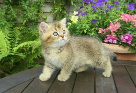 A Pampurred Golden Tipped male kitten