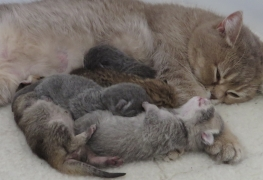 Pampurred Lily asleep with her kittens