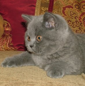 A Pampurred British shorthair kitten