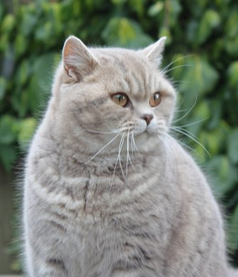 Lulu's daughter, Pampurred Pipa, Blue spotted British Shorthair cat